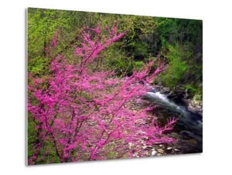 USA, Tennessee, Great Smoky Mountain Redbud Wildflowers-Jaynes Gallery-Metal Print