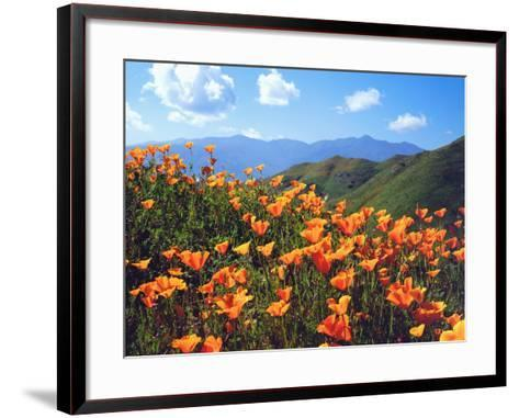 USA, California, Lake Elsinore. California Poppies Cover a Hillside-Jaynes Gallery-Framed Art Print