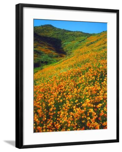 USA, California, Lake Elsinore. California Poppies Cover a Hillside-Jaynes Gallery-Framed Art Print