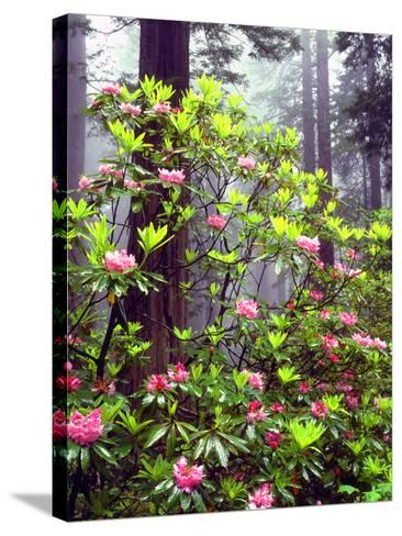USA, California, Redwood Redwood Trees with Rhododendron-Jaynes Gallery-Stretched Canvas Print