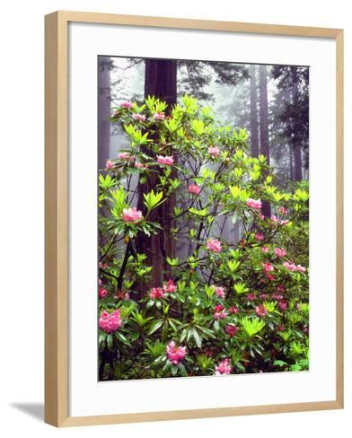 USA, California, Redwood Redwood Trees with Rhododendron-Jaynes Gallery-Framed Art Print
