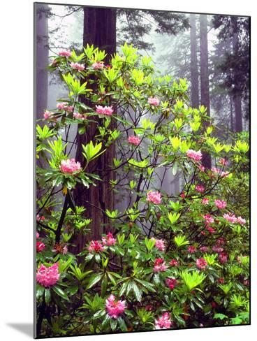 USA, California, Redwood Redwood Trees with Rhododendron-Jaynes Gallery-Mounted Photographic Print