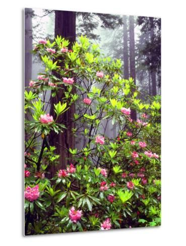 USA, California, Redwood Redwood Trees with Rhododendron-Jaynes Gallery-Metal Print