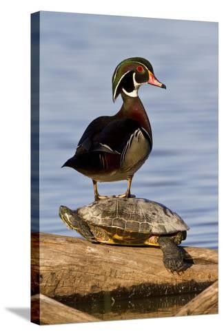 Wood Duck Standing on Red-Eared Slide on Log in Wetland, Marion Co. IL-Richard and Susan Day-Stretched Canvas Print