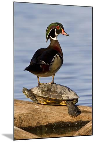 Wood Duck Standing on Red-Eared Slide on Log in Wetland, Marion Co. IL-Richard and Susan Day-Mounted Photographic Print