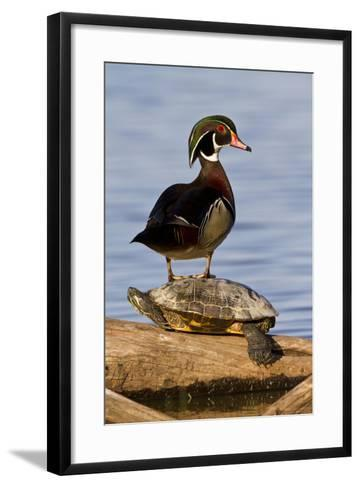 Wood Duck Standing on Red-Eared Slide on Log in Wetland, Marion Co. IL-Richard and Susan Day-Framed Art Print