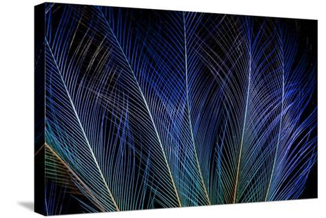 Display Feathers of Blue Bird of Paradise-Darrell Gulin-Stretched Canvas Print