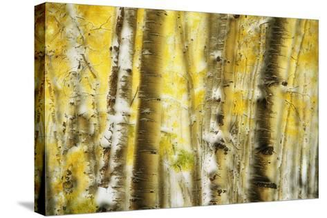 Aspen Grove Blanketed with Snow-Darrell Gulin-Stretched Canvas Print
