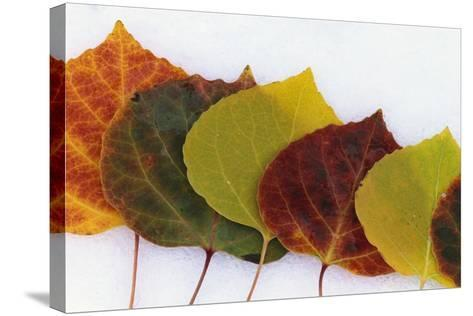 Aspen Leaves on Snow-Darrell Gulin-Stretched Canvas Print