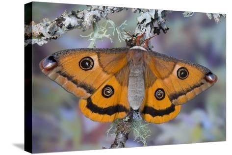 Calosaturnia Moth on Lichen-Covered Branch-Darrell Gulin-Stretched Canvas Print