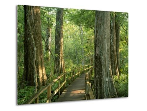 Boardwalk Through Forest of Bald Cypress Trees in Corkscrew Swamp-James Randklev-Metal Print