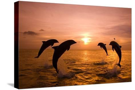 Bottlenosed Dolphins Jumping-Craig Tuttle-Stretched Canvas Print