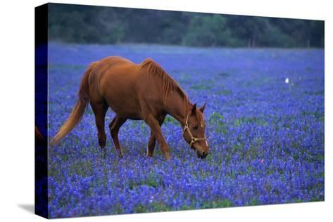 Horse Grazing Among Bluebonnets-Darrell Gulin-Stretched Canvas Print