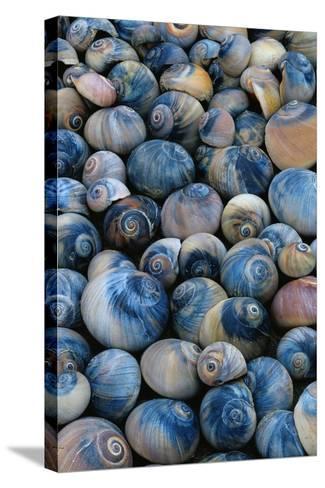 Shells-Darrell Gulin-Stretched Canvas Print