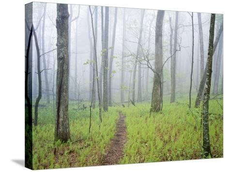 Oak Forest in Fog-James Randklev-Stretched Canvas Print