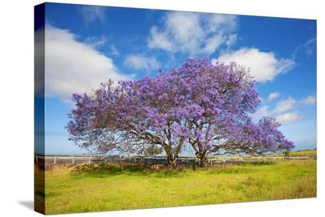 Jacaranda Trees in Bloom in the Up-Country on Maui-Ron Dahlquist-Stretched Canvas Print
