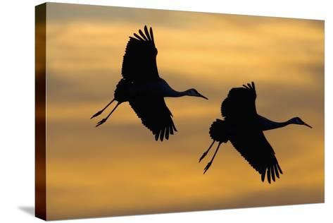 Silhouettes of Two Sandhill Cranes-Darrell Gulin-Stretched Canvas Print