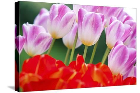 Tulips in Spring-Craig Tuttle-Stretched Canvas Print