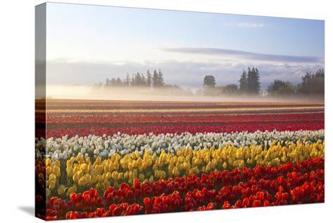Sunrise over Tulip Field, Wooden Shoe Tulip Farm, Woodburn, Oregon-Craig Tuttle-Stretched Canvas Print