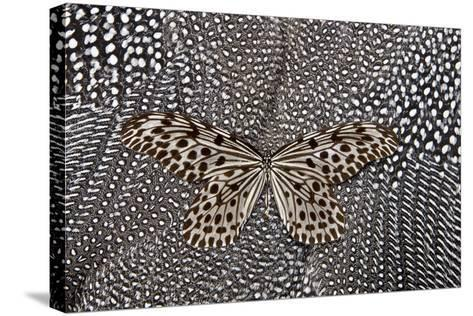 Paper Kite Butterfly on Black and White Guinea Fowl Feathers Design-Darrell Gulin-Stretched Canvas Print