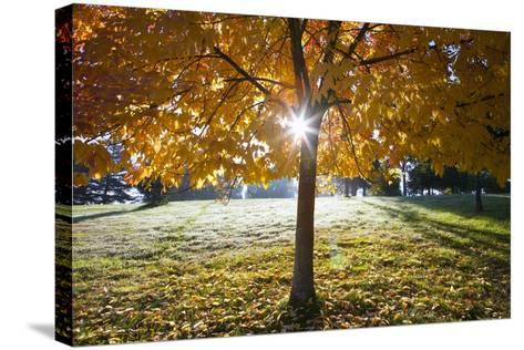 Sunshine Through a Fall Tree-Craig Tuttle-Stretched Canvas Print