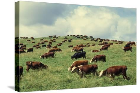 Hereford Cattle Grazing on Hill-James Randklev-Stretched Canvas Print