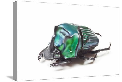Scarabidae Beetle from Peru Oxysternus Selenium-Darrell Gulin-Stretched Canvas Print