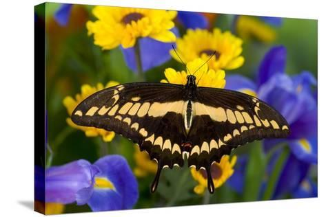 Thoas Swallowtail Resting on Irises and Daisies-Darrell Gulin-Stretched Canvas Print