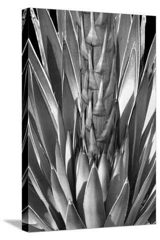 Flowering Agave BW-Douglas Taylor-Stretched Canvas Print