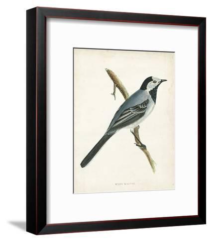 Morris White Wagtail-Reverend Francis O^ Morris-Framed Art Print