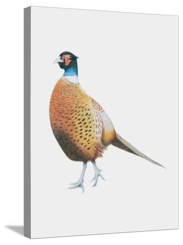 Pheasant, 2012-Ele Grafton-Stretched Canvas Print