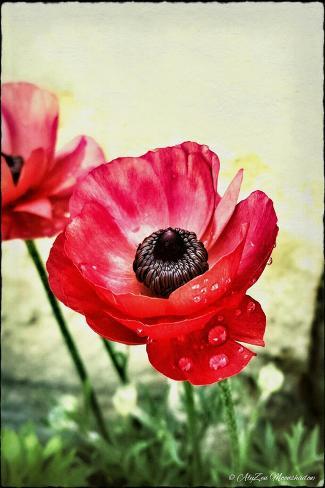 Red Anemone, 2013-AlyZen Moonshadow-Stretched Canvas Print