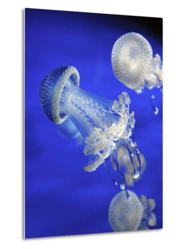 Jellyfish-canebisca-Metal Print