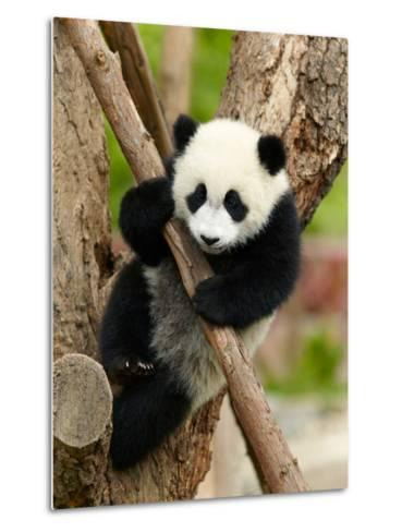 Giant Panda Baby over the Tree-silver-john-Metal Print