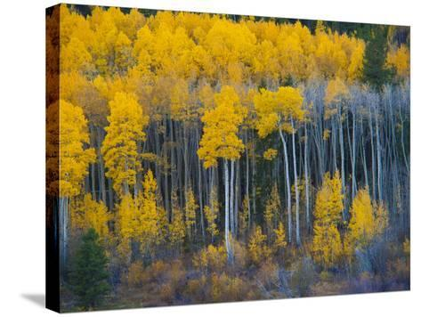 Autumn Vista with Yellow Aspens Along Cottonwood Pass, Rocky Mountains, Colorado,USA-Anna Miller-Stretched Canvas Print