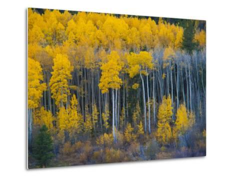 Autumn Vista with Yellow Aspens Along Cottonwood Pass, Rocky Mountains, Colorado,USA-Anna Miller-Metal Print