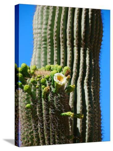 Blooming Saguaro Cactus-Anna Miller-Stretched Canvas Print