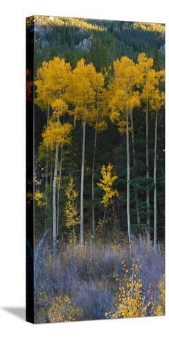 Autumn Aspens Along Cottonwood Pass, Rocky Mountains, Colorado,USA-Anna Miller-Stretched Canvas Print