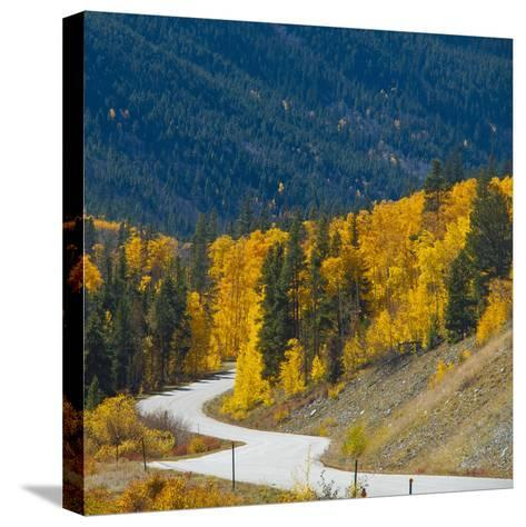 Fall Color of Aspen Trees and Evergreens Along Cottonwood Pass of Rocky Mountain National Park-Anna Miller-Stretched Canvas Print
