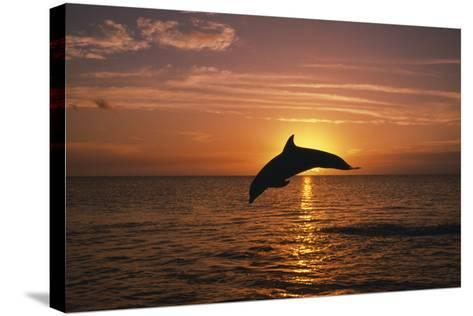 Dolphin--Stretched Canvas Print