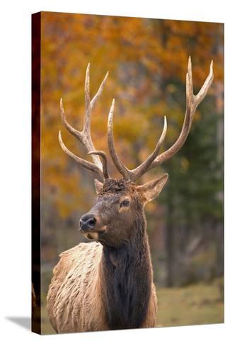 Elk--Stretched Canvas Print
