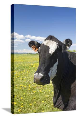 Cow--Stretched Canvas Print