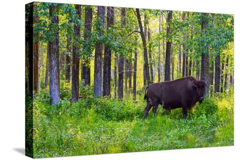 Bison--Stretched Canvas Print