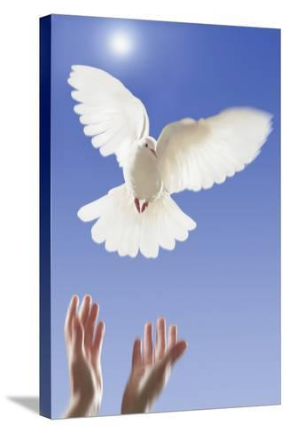 White Dove--Stretched Canvas Print