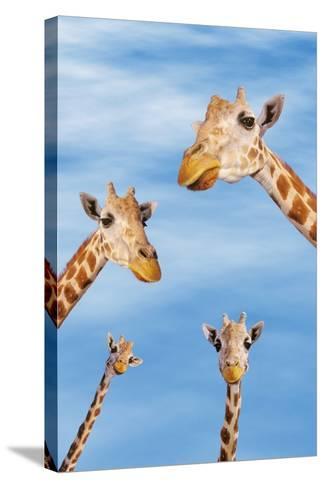 Giraffes--Stretched Canvas Print