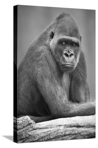 Gorilla--Stretched Canvas Print