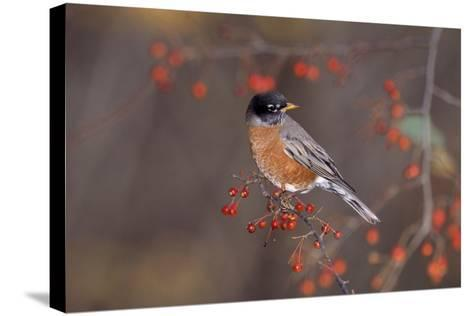 Robin--Stretched Canvas Print