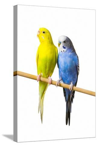 Parakeets--Stretched Canvas Print