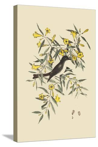 Blackcap Flycatcher-Mark Catesby-Stretched Canvas Print