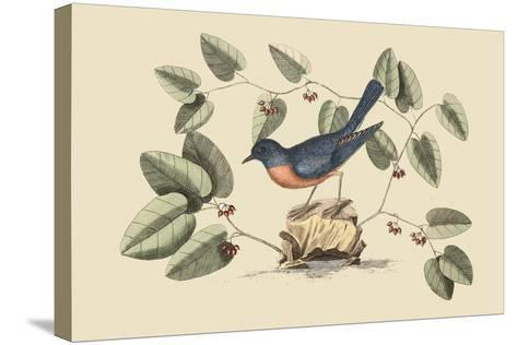 Blue Bird-Mark Catesby-Stretched Canvas Print